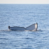 Pic 2018-0723 03 Hervey Bay Whale Watch (124) edit