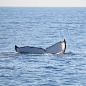 Pic 2018-0723 03 Hervey Bay Whale Watch (124) edit