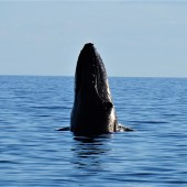 Pic 2018-0723 03 Hervey Bay Whale Watch (235) edit